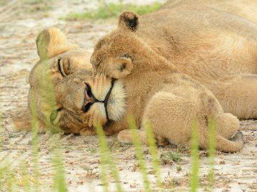 Botswana Nxai Pan National Park Löwen Iwanowskis Reisen - afrika.de