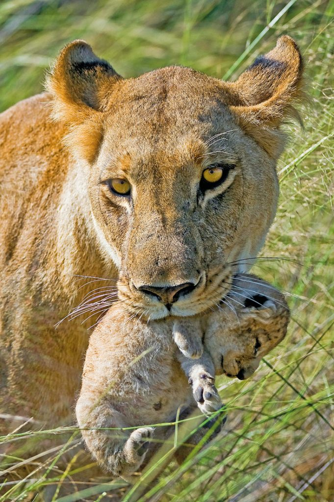 Botswana Okavango Delta Löwin Baby Iwanowskis Reisen - afrika.de