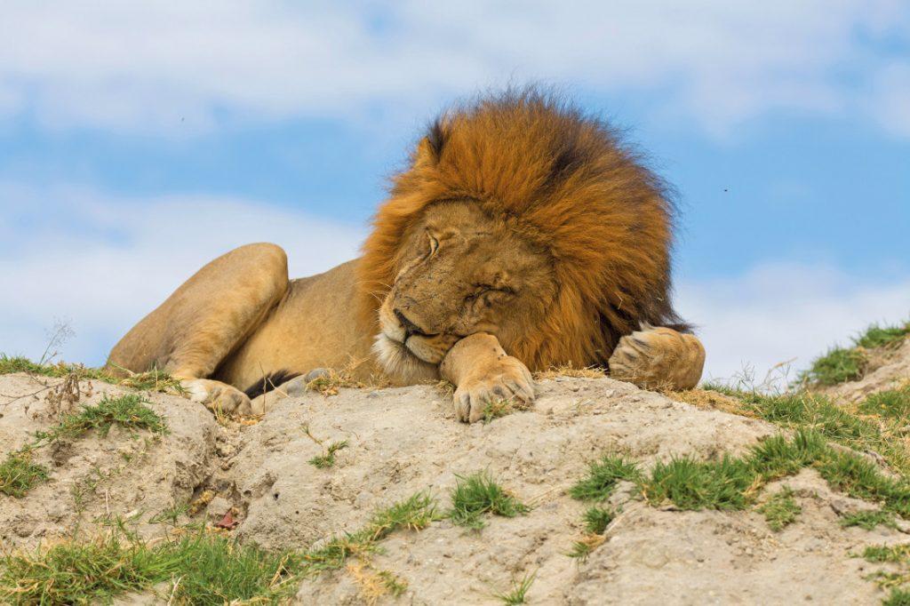 Botswana Safari Bushways Löwe Iwanowskis Reisen - afrika.de