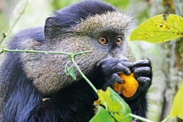 Ruanda Rundreise Safari Golden Monkey Iwanowskis Reisen - afrika.de