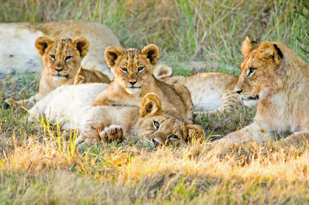 Südafrika Mossel Bay Gondwana Game Reserve Löwenbabys Iwanowskis Reisen - afrika.de