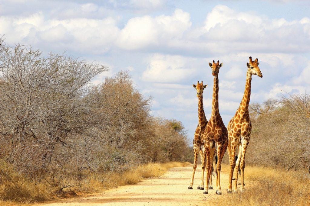 Südafrika Krüger National Park Giraffen Sunway Safaris Iwanowskis Reisen - afrika.de