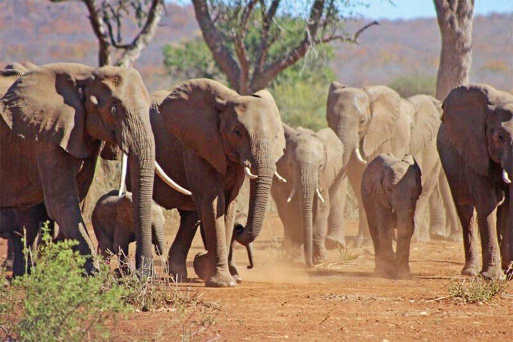 Südafrika Makuya Nature Reserve Elefantenherde Unterkunft Iwanowskis Reisen - afrika.de
