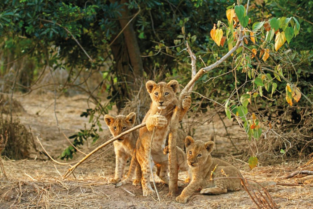 Sambia Lower Zambezi National Park Löwenbabys Iwanowskis Reisen - afrika.de