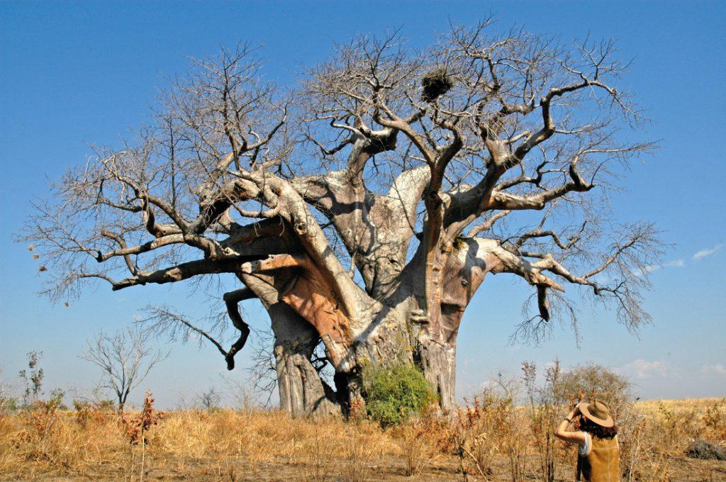 Sambia South Luangwa National Park Wandersafari Baobab Iwanowskis Reisen - afrika.de