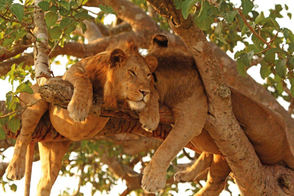Uganda Safari Camping baumkletternde Löwen Iwanowskis Reisen - afrika.de