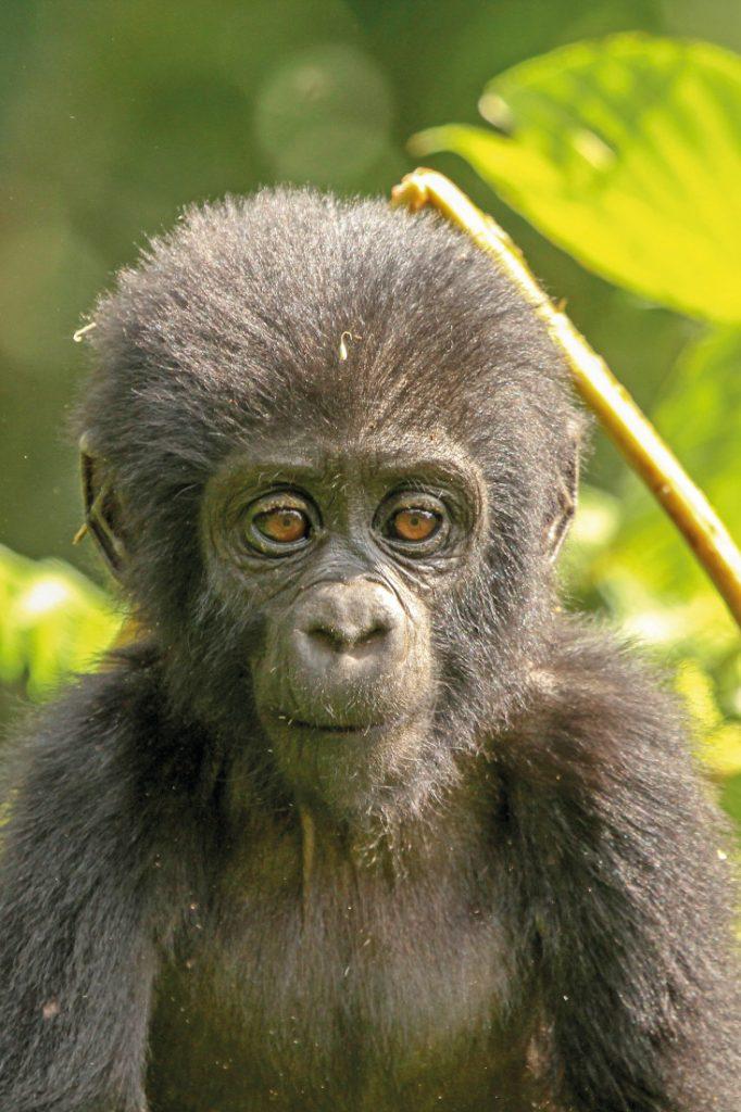 Uganda Safari Camping Gorillababy Iwanowskis Reisen - afrika.de