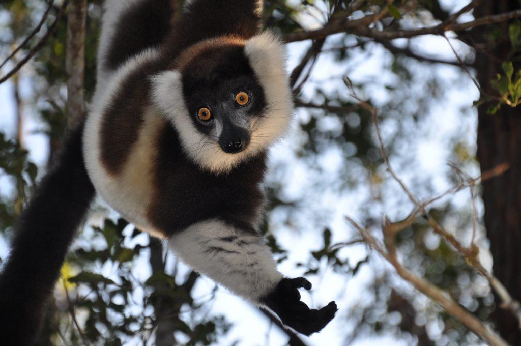 Madagaskar Lemur Iwanowskis Reisen - afrika.de