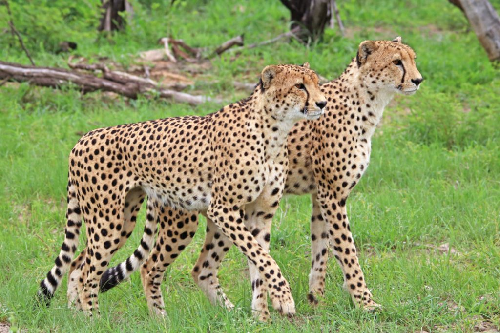Sambia Geparden-Duo Iwanowskis Reisen - afrika.de