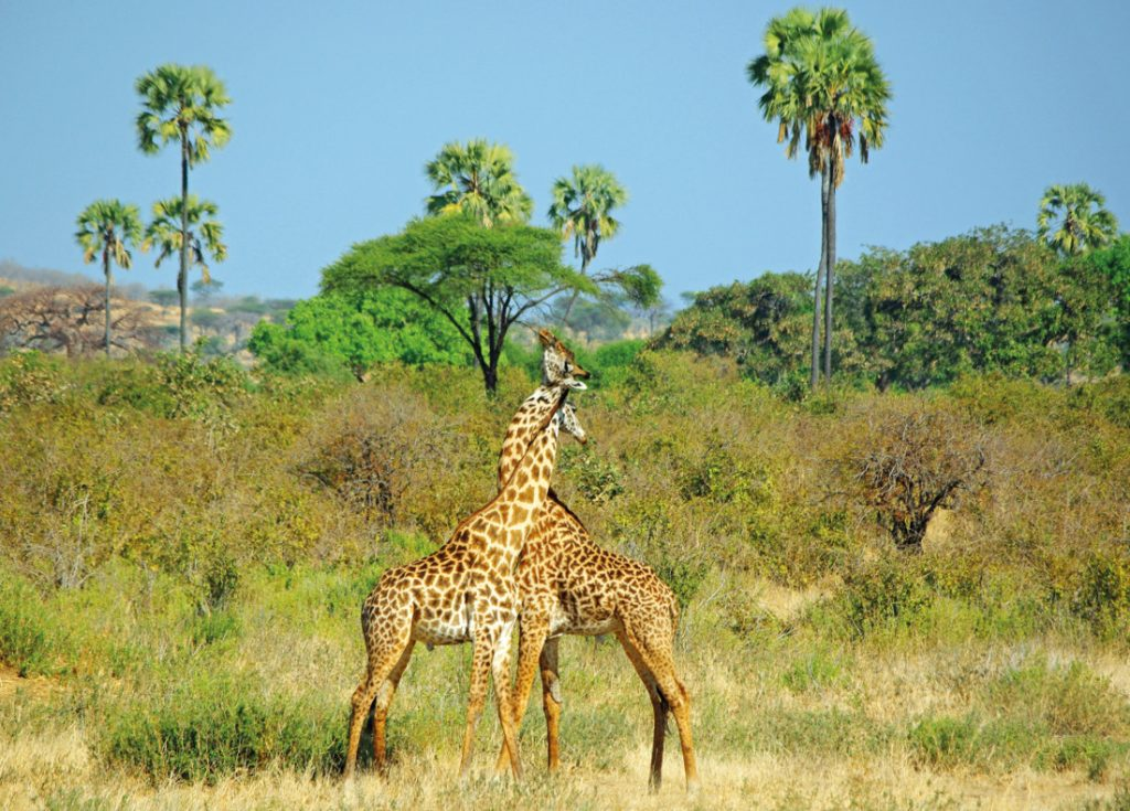 Sambia Giraffen Iwanowskis Reisen - afrika.de