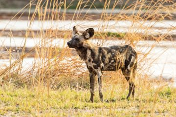 Sambia Luangwa National Park Wildhund Iwanowskis Reisen - afrika.de