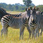 Sambia Zebrafamilie Iwanowskis Reisen - afrika.de