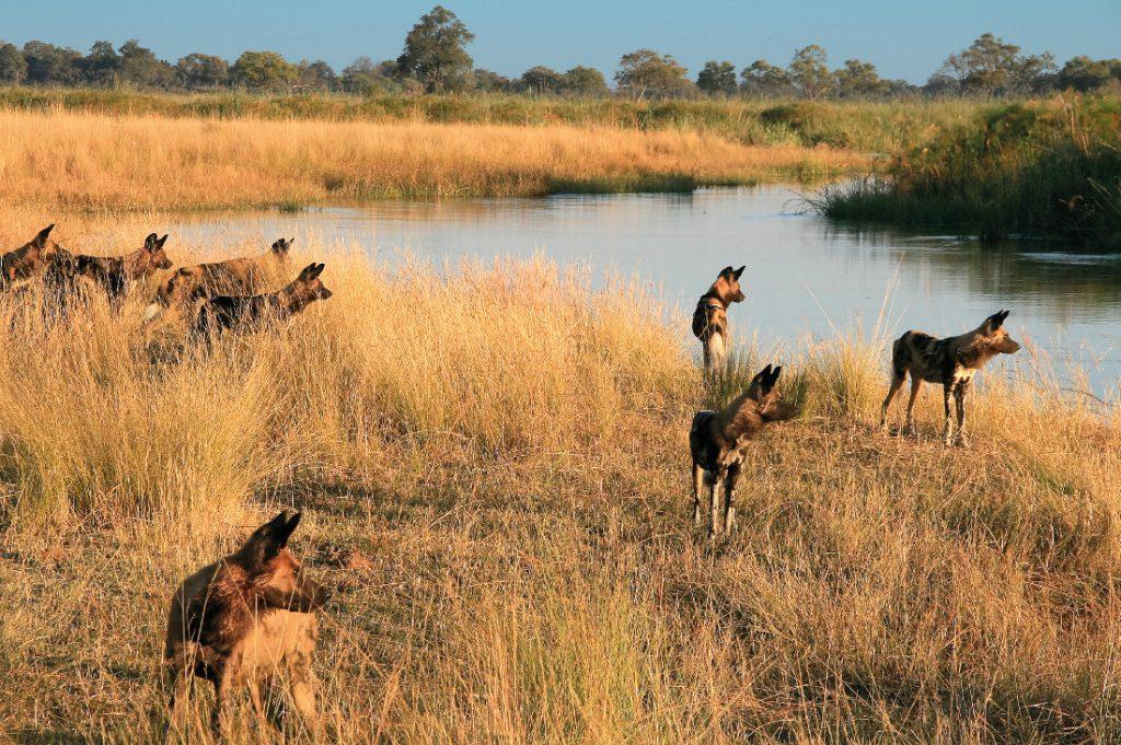 Botswana Linyanti Kwando Lagoon Camp Wildhunde Iwanowskis Reisen - afrika.de