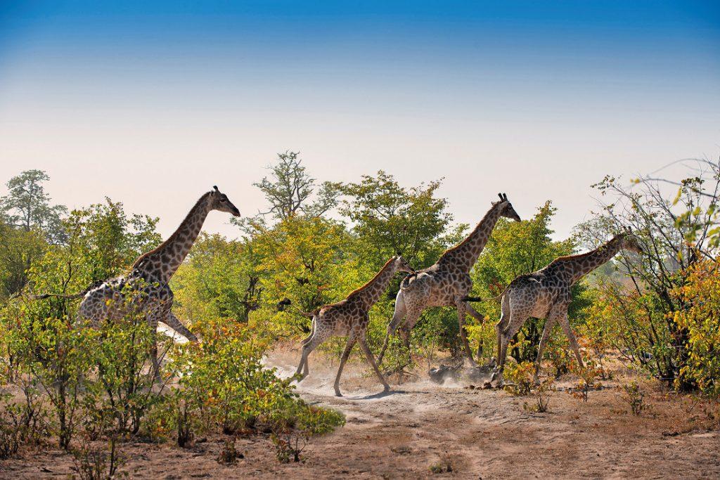 Botswana Linyanti Wildlife Reserve Giraffen Iwanowskis Reisen - afrika.de