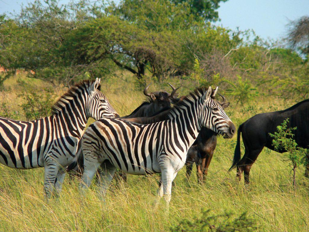 Südafrika Hluhluwe Game Reserve Zebras Iwanowskis Reisen - afrika.de