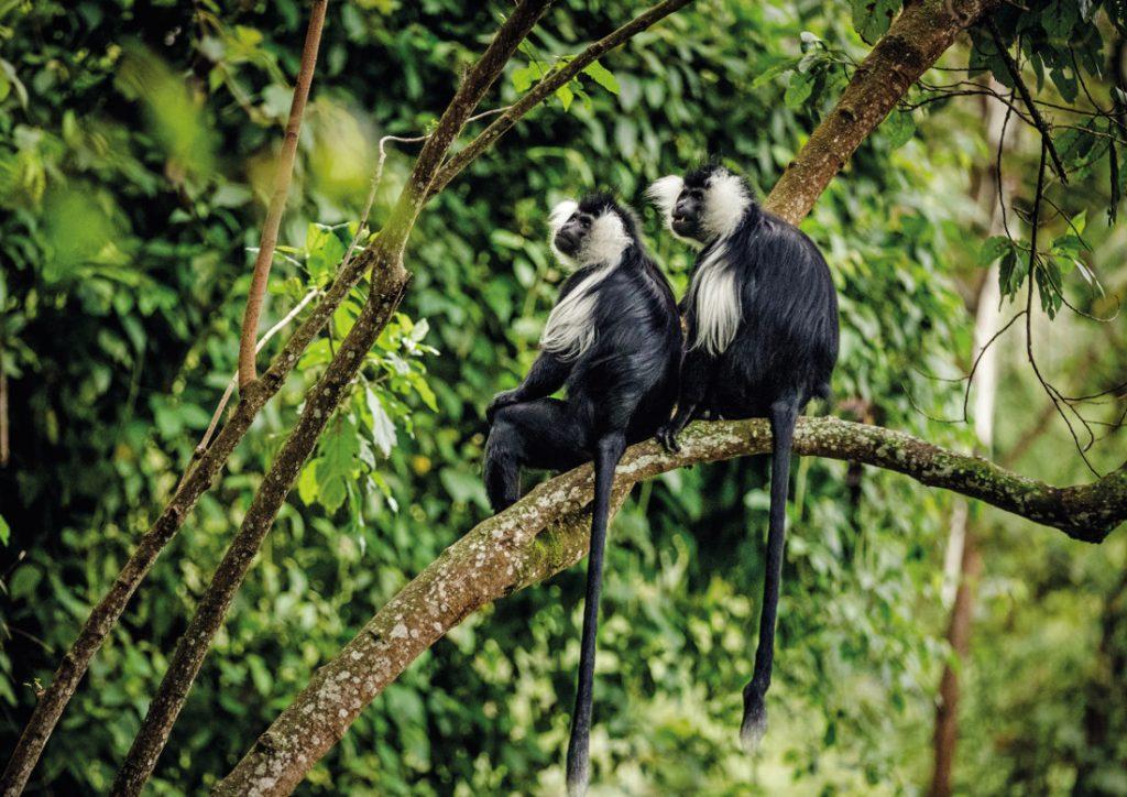 Ruanda Colobus Affen Iwanowskis Reisen - afrika.de