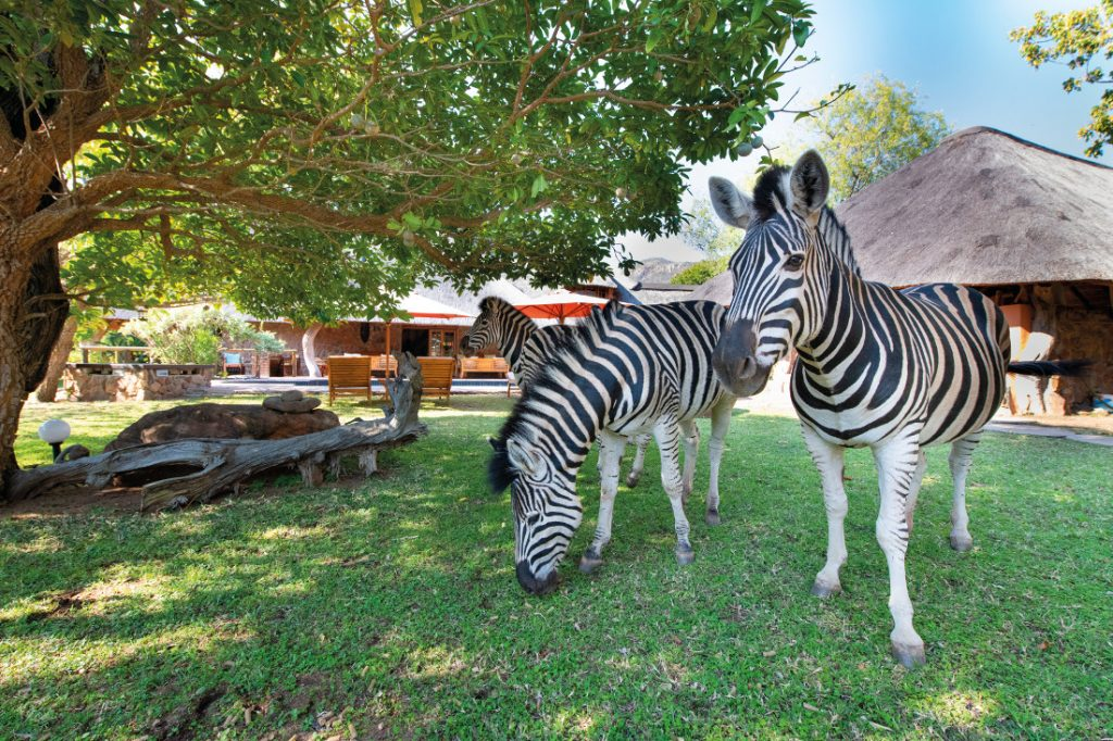Südafrika Blyde River Canyon Lodge Zebras Garten Iwanowskis Reisen - afrika.de