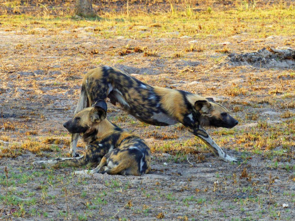 Sambia Kafue NP Nanzhila Plains Camp Wildhunde Iwanowskis Reisen - afrika.de