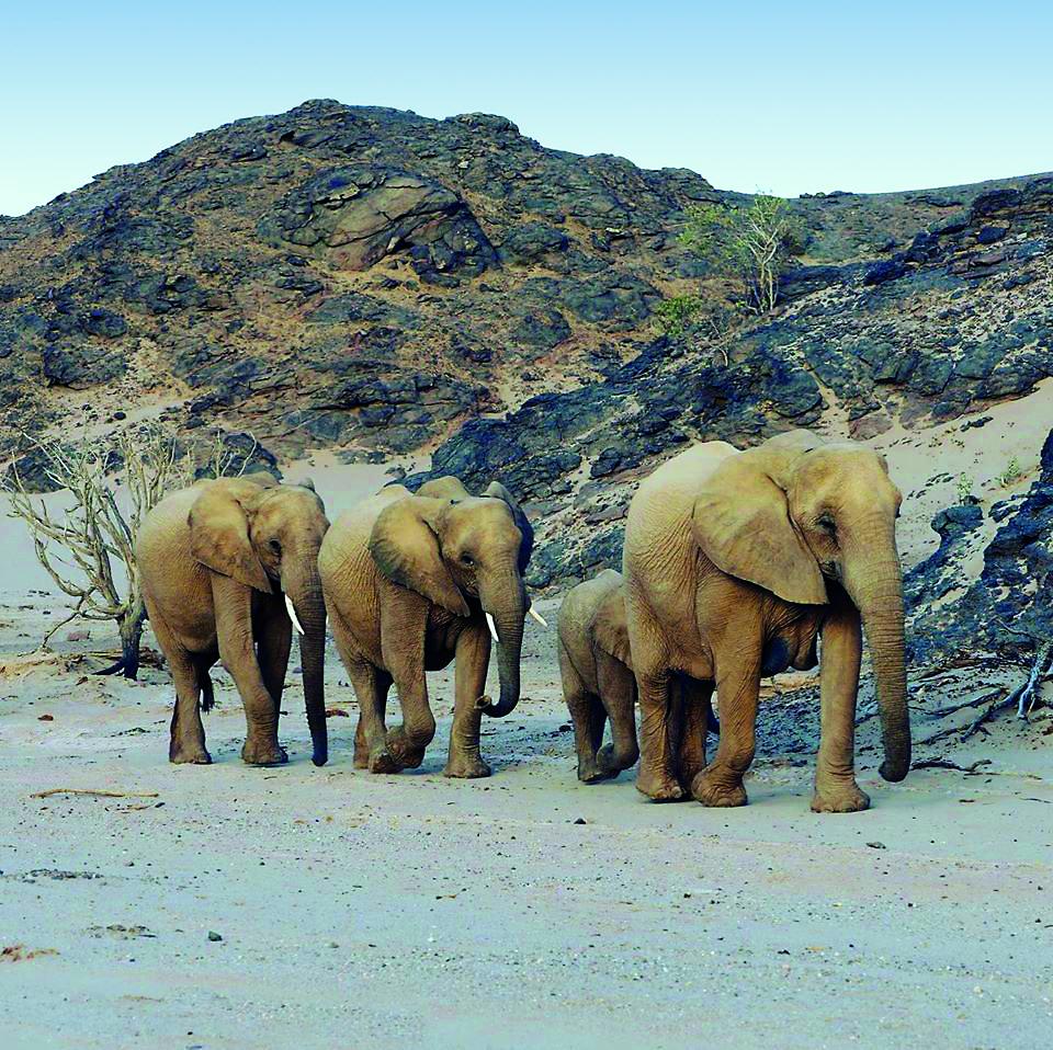 Namibia Sklettküste Wüstenelefanten Iwanowskis Reisen - afrika.de