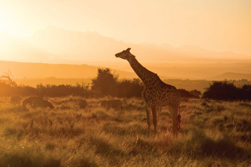 Südafrika Western Cape George Gondwana Game Reserve Pioneer Trail Wanderung Giraffe Iwanowskis Reisen - afrika.de