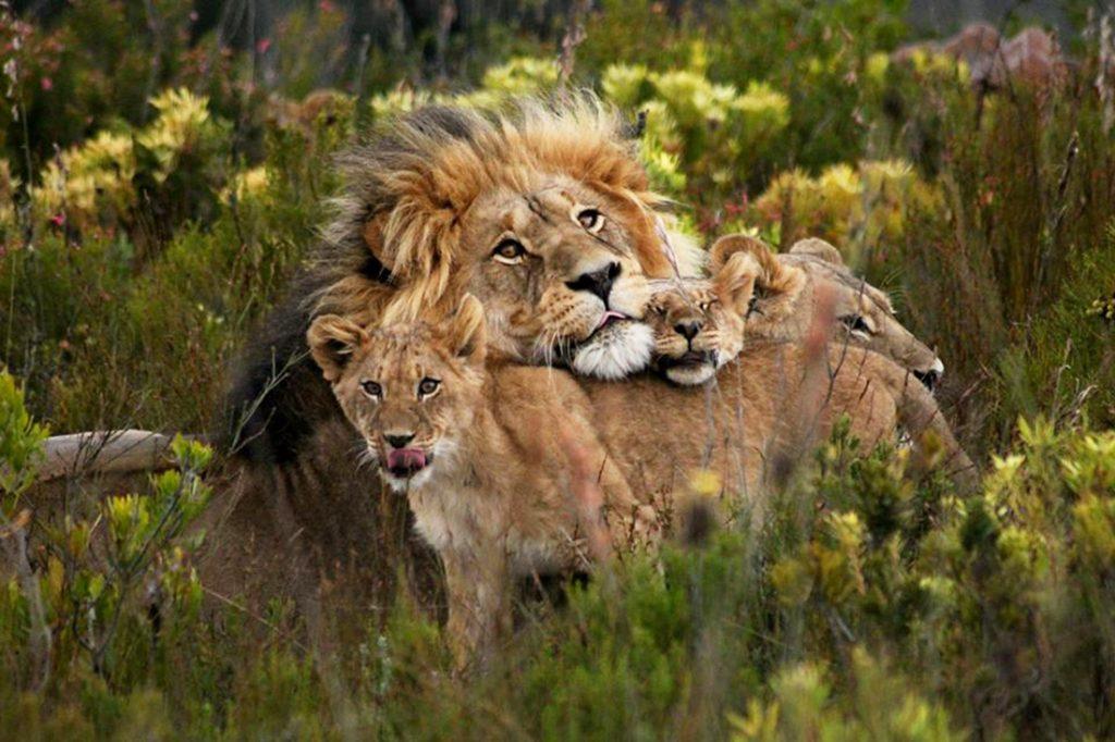 Südafrika Western Cape George Gondwana Game Reserve Pioneer Trail Wanderung Löwenfamilie Iwanowskis Reisen - afrika.de