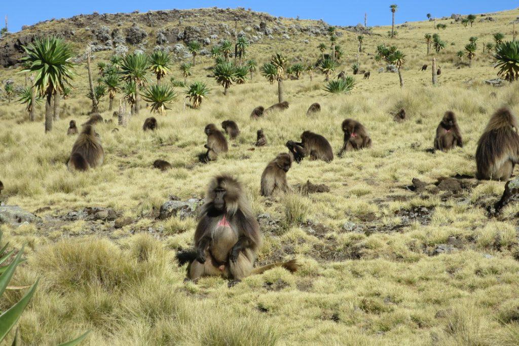 Äthiopien Simien Mountains Blutbrustpaviane Iwanowskis Reisen - afrika.de