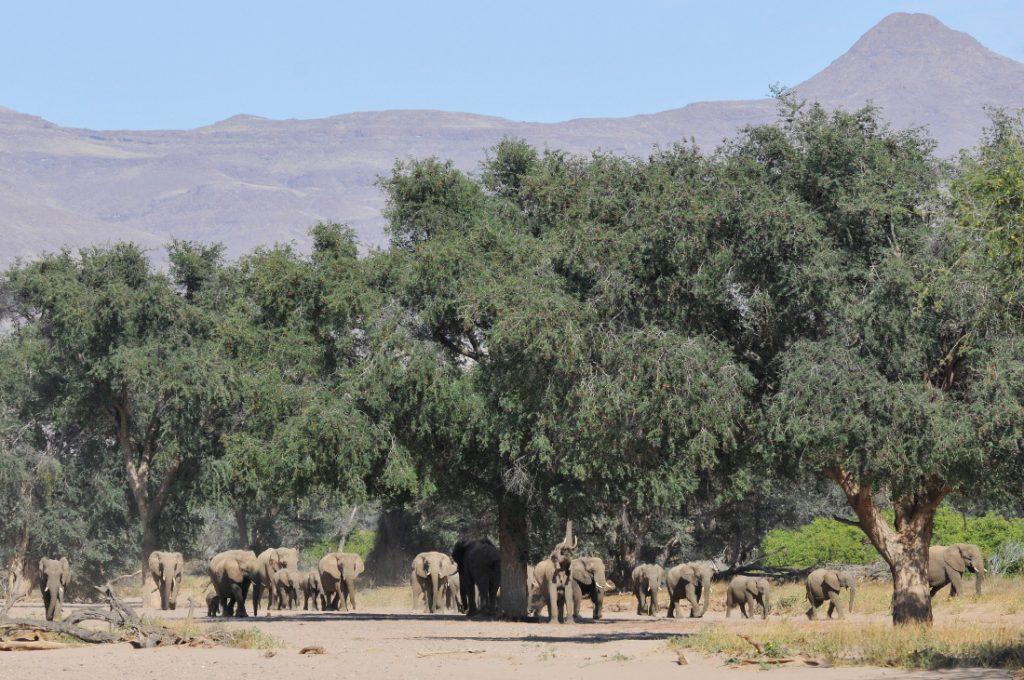 Namibia Wüstenelefanten Aba Huab Iwanowskis Reisen - afrika.de