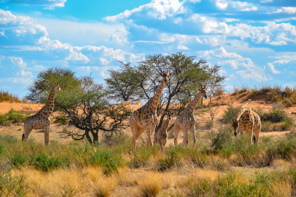 Namibia Kalahari Red Dunes Lodge Giraffen Iwanowskis Reisen - afrika.de