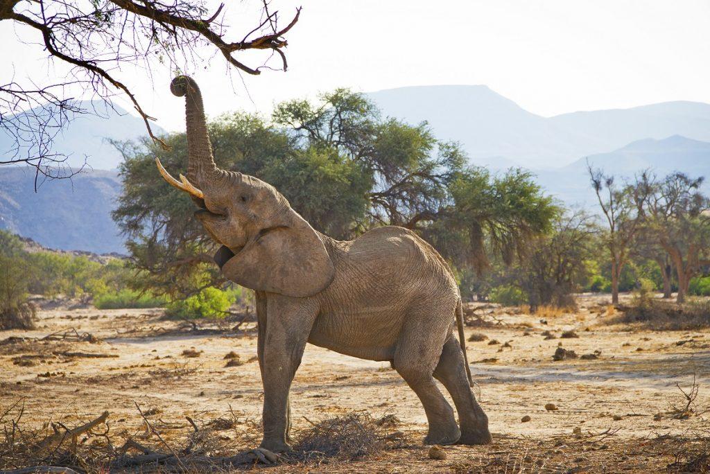 Namibia Twyfelfontein Wüstenelefant Iwanowskis Reisen - afrika.de
