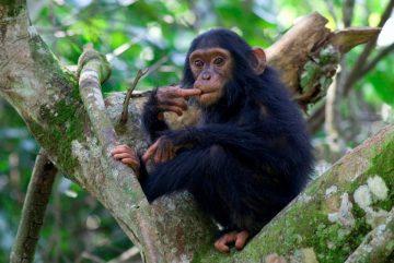 Uganda Queen Elizabeth National Park Kyambura Gorge Lodge Schimpanse Iwanowskis Reisen - afrika.de