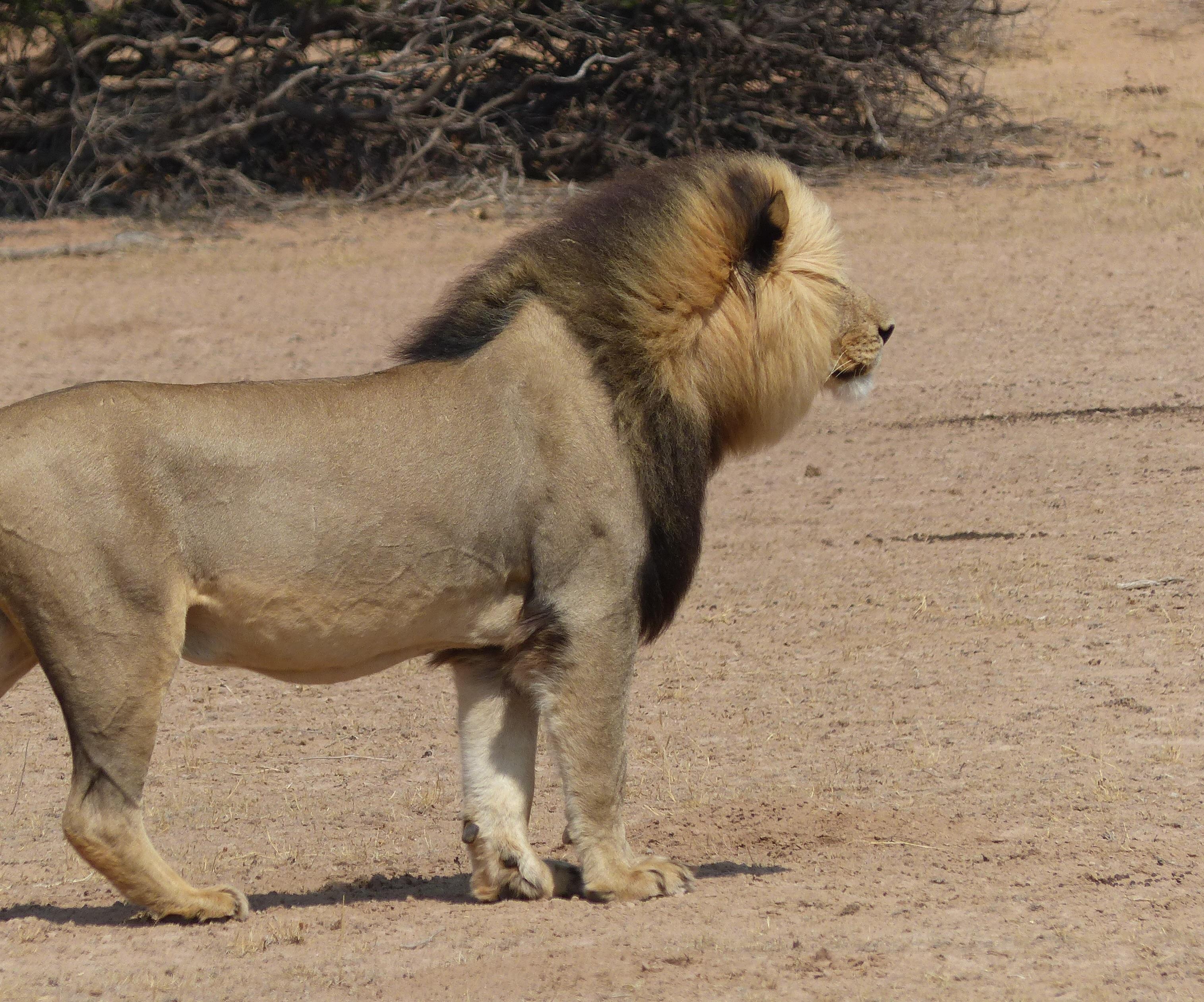 Schwarzmähniger Kalahari-Löwe im Kgalagadi Transfrontier Park