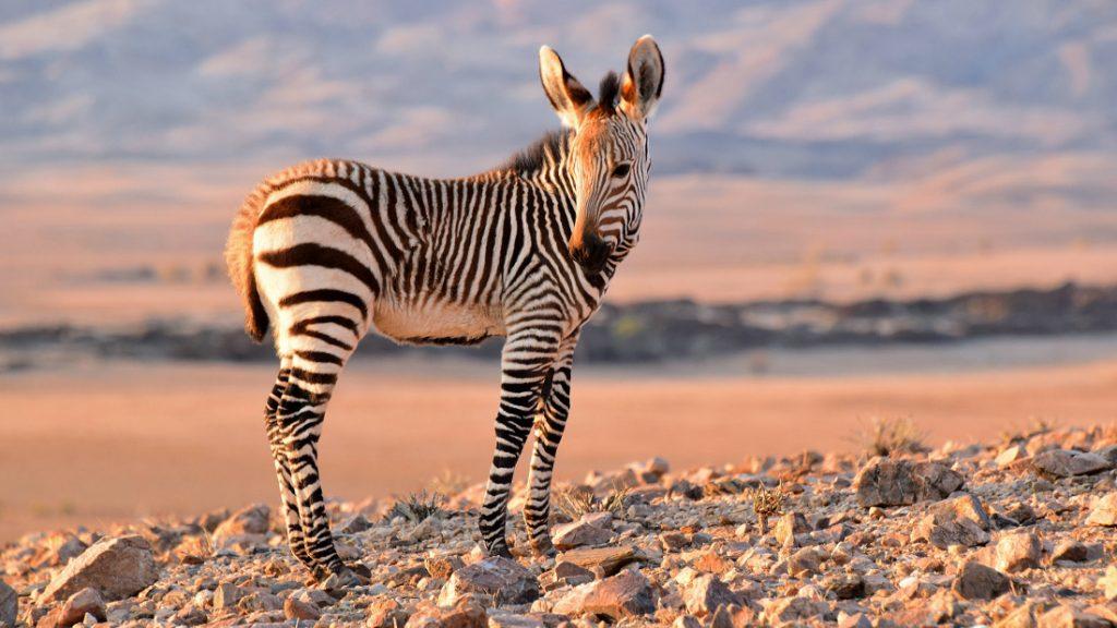 Namibia Khomas Hochland Rostock Ritz Zebra Joy Iwanowskis Reisen - afrika.de