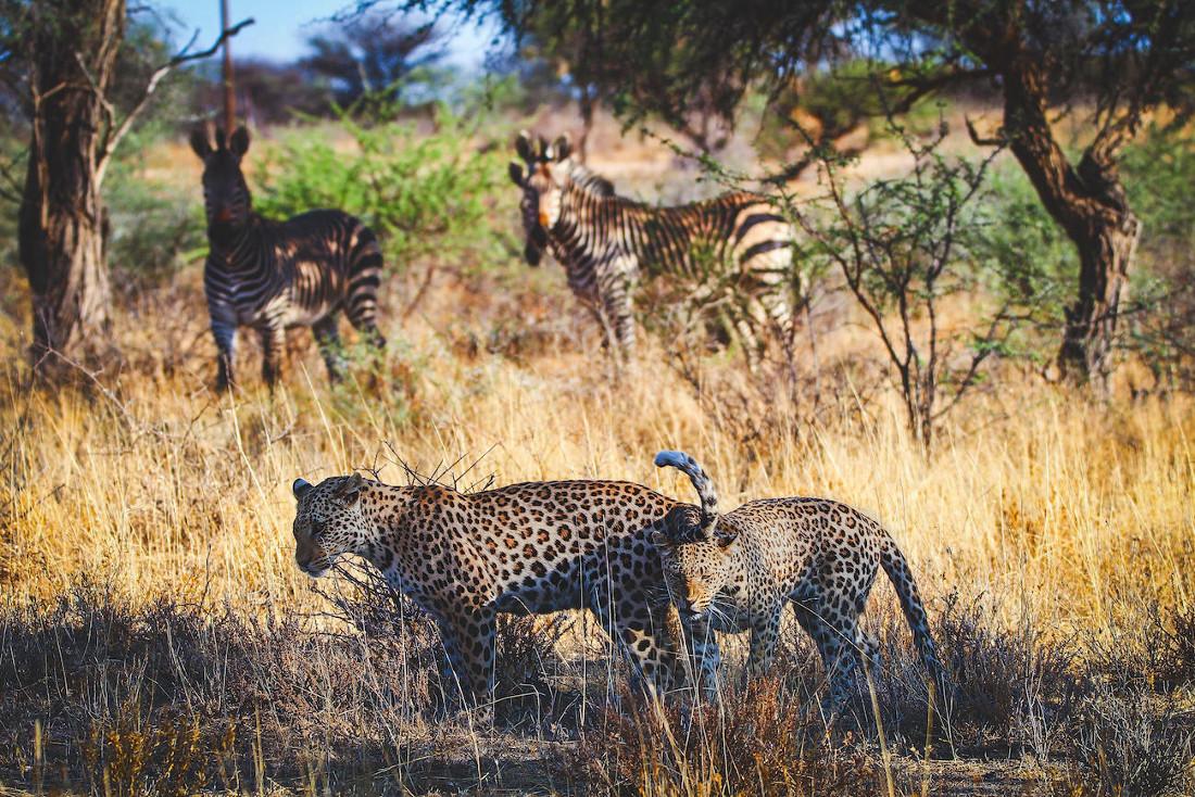 Namibia Otjiwarongo Okonjima Pirschfahrt Leoparden Iwanowskis Reisen - afrika.de