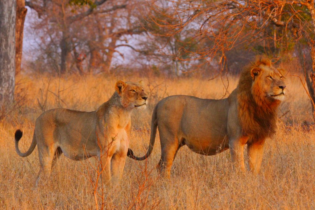 Südafrika Krüger Nationalpark Sabi Sands Reserve Nkorho Bush Lodge Löwen Iwanowskis Reisen - afrika.de