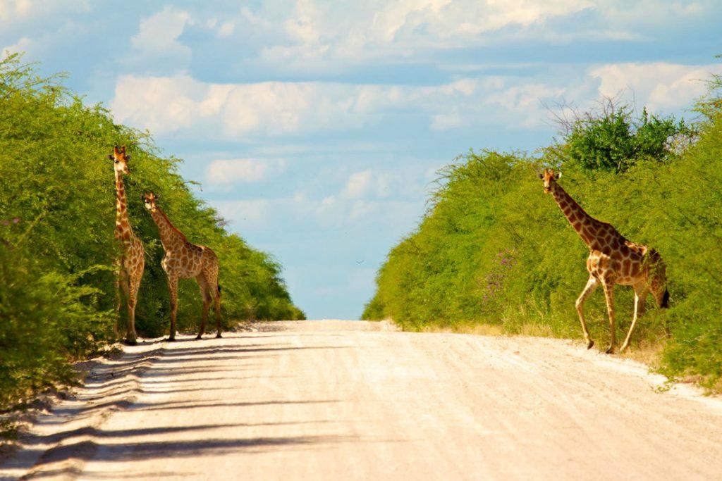 Namibia Etosha National Park Mokuti Lodge Pirschfahrt Iwanowskis Reisen - afrika.de