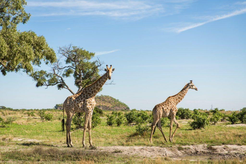 Botswana Okavango Delta Giraffen Iwanowskis Reisen - afrika.de