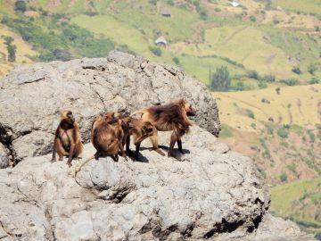 Äthiopien Addis Abeba Affen im Hochland - afrika.de
