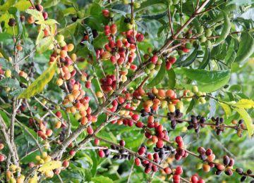Äthiopien Bonga wilde Kaffeesträucher - afrika.de