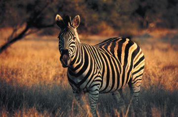 Zebra im Etosha National Park - Namibia