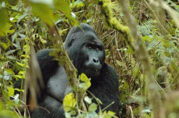 Ruanda Gorilla Iwanowskis Reisen - afrika.de