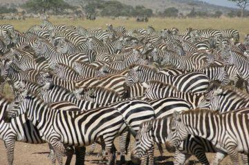 tansania serengeti safari