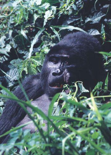 Uganda Gorilla Iwanowskis Reisen - afrika.de