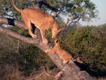 Uganda Löwen im Queen Elizabeth NP Iwanowskis Reisen - afrika.de