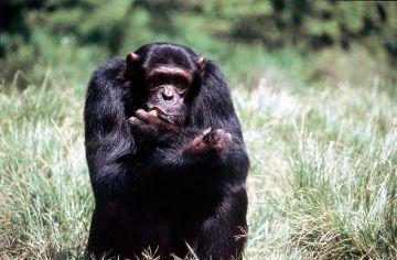 Uganda Schimpanse Murchison Falls NP Iwanowskis Reisen - afrika.de