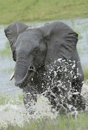 Sambia Elefant im South Luangwa NP Iwanowskis Reisen - afrika.de