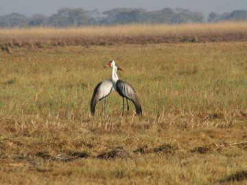 Sambia Klunkerkraniche auf den Busanga Plains Iwanowskis Reisen - afrika.de